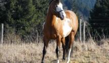 Westernpferd 3